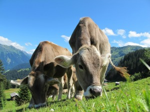 wpid-cows-cow-203460_1280.jpg