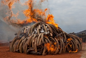burning-illegal-ivory-832x560